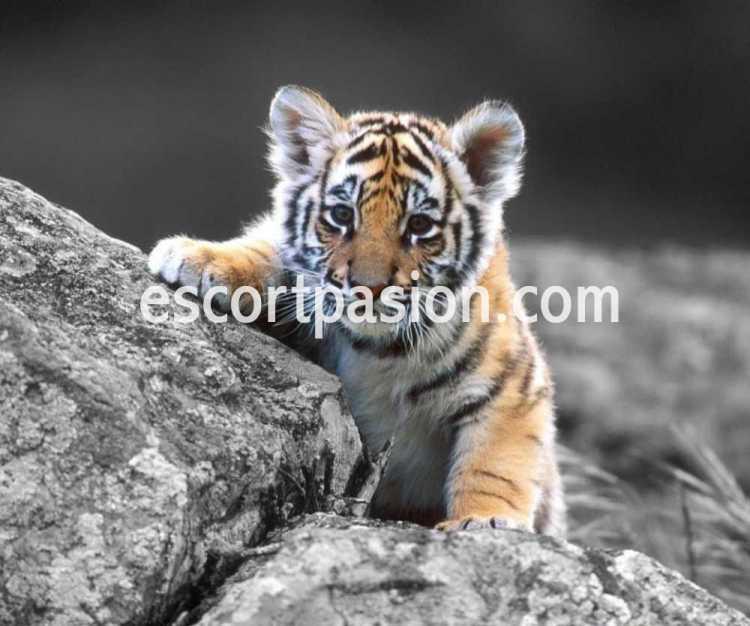 Tigre cachorro e perfil de masajista erótico para mujeres